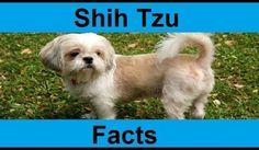 Shih Tzu Puppy Facts