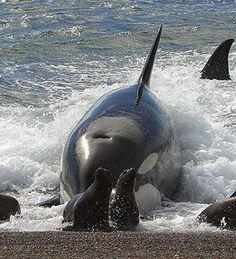 Peninsula Valdes - Chubut, Argentina                                                                                                                                                      Más Water Animals, Animals And Pets, Orcas, Peninsula Valdes, In Patagonia, South America Travel, Killer Whales, Ocean Life, Funny Animal Pictures