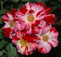 Best climbing roses for So Cal