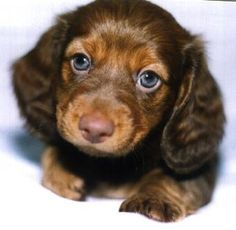a long haired dachsund puppy