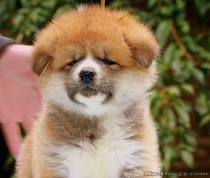 Akita Inu Puppies for Sale .