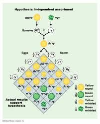 8 Best SBI3U- GENETICS images in 2013 | Ap biology, Genetics, Biology