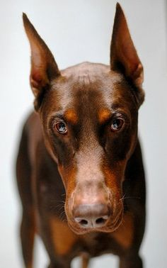 The Doberman Pinscher is among the most popular breed of dogs in the world. Known for its intelligence and loyalty, the Pinscher is both a police- favorite Rottweiler, Big Dogs, I Love Dogs, Dogs And Puppies, Doggies, Beautiful Dogs, Animals Beautiful, Cute Animals, Chien Dobermann