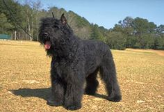 Swedish Lapphund photo | The Bouvier des Flandres is an older breed than the BRT and comes in a ...