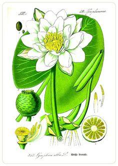 «Water lilly. Flora von Deutschland Österreich und der Schweiz (1885); Scan of 2 d image in the public domain believed to be.  free to use without restriction in the US...