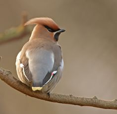 https://flic.kr/p/96QDpV | waxwing 258 | ,this could be the best ever winter for Waxwing to land in my area.