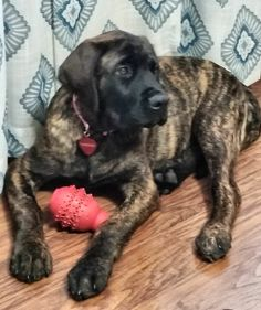 The four breeds most commonly called Mastiffs are the English Mastiff, the Neapolitan Mastiff, the Bull Mastiff and the Tibetan Mastiff. Brindle English Mastiff, Tibetan Mastiff, English Mastiffs, Irish Setter, Pet Life, Gentle Giant, Dogs Of The World, Dog Quotes, Big Dogs