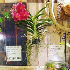 【marolien2】さんのInstagramをピンしています。 《満開のバンダさんが届きました🌹🌹脇にもうひとつ小さい花芽がついてます🌷冬の管理頑張ろう😅#plants#green#platycerium#moss#mossgarden#lovegreen#indoorgarden#indoorplants#mossterrarium#terrarium#ridley##nepenthes#sarracenia#苔#苔テラリウム#テラリウム#植物のある暮らし#観葉植物#interior#インテリア#蘭#バンダ#花》