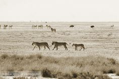 Pack of lions, Etosha pan, Etosha National Park, Namibia, Africa- love all the different animals in the pic