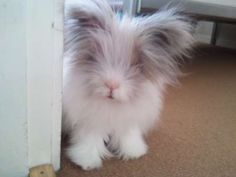 this is the most precious lions head rabbit I have ever seen.