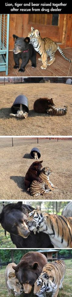 Leo the lion passed away not very long ago. They buried him in the trios favorite place to lay and bask in the sun. -C animals animal dog animaux Cute Funny Animals, Cute Baby Animals, Funny Cute, Animals And Pets, Funny Pics, Wild Animals, Funny Videos, Pet Videos, Funny Images