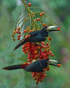 The Collared Aracari or Collared Araçari is a toucan, a near-passerine bird. It breeds from southern Mexico to Panama; also Ecuador, Colombia, Venezuela and Costa Rica.