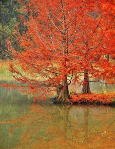 Lake Ginninderra Swamp Cypress, Canberra, Australia photo on Sunsurfer Australia Capital, Australia Tours, South Australia, The Beautiful Country, Beautiful Places, The Places Youll Go, Places To See, Pretty Pictures, Cool Photos