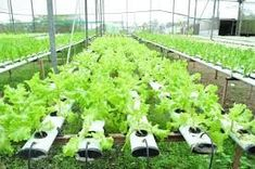 Oman to introduce hydroponic farming – IFP Info – News Hydroponic Farming, Hydroponic Growing, Hydroponics System, New Roots, Planting Seeds, Growing Vegetables, Horticulture, Vegetable Garden, Beautiful Gardens