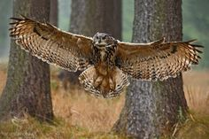 Great Horned owl swoops in