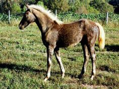 Donnerlight  1/2 swedish warmblood 1/4 percheron 1/4 quarter horse  brookstonefarms.com