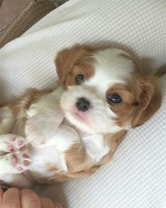 Shih Tzu Puppies: Cute Pictures And Facts Super Cute Puppies, Cute Baby Dogs, Cute Little Puppies, Cute Dogs And Puppies, Cute Little Animals, Cute Funny Animals, Cute Babies, Doggies, Puppies With Babies