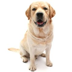 Labrador Retriever: This medium-sized, high-energy dog is best suited to a suburban or country home with a yard and a family that can provide it with the activity it loves.