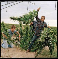 Se convirtió en legal en 2014, y se espera que el negocio de la marihuana en Colorado valga millones de dólares para el 2016.  En esta foto, hombres cosechan marihuana para para usos médicos.  Crédito de foto:  Lynn Johnson / National Geographic Creative