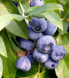 Video - How to Plant Blueberries. Watch here http://www.finegardening.com/video/homegrown-homemade-how-to-plant-blueberries.aspx
