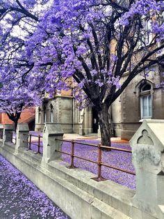 Grote Street #Adelaide | Spring I adore Jacarandas