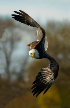 Types of Eagles - The Eagles are the most effective raptor found on planet earth and few of them are amongst the biggest extant types of eagles in the world. The Eagles, Types Of Eagles, Bald Eagles, Eagle Pictures, Animal Pictures, Photo Aigle, Beautiful Birds, Animals Beautiful, Tier Fotos