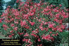 Evergreen Hedge Plants | Nerium Oleander - Oleander. Fast-growing evergreen shrubs. It is small ...