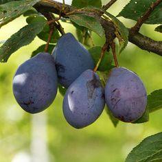Finom gyümölcsöt ad és kevés gondozást igényel: a szilvafa