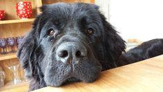 Boeddha our newfoundlander Happy Life, Labrador Retriever, Dogs, Animals, The Happy Life, Labrador Retrievers, Animales, Animaux, Pet Dogs