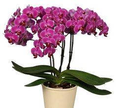 Phalaenopsis Anthura Morelia - fotó: Anthura