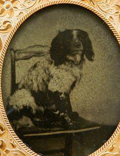 Antique Ambrotype Spaniel Dog Photograph