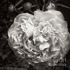 Many Petals by Marcia Lee Jones