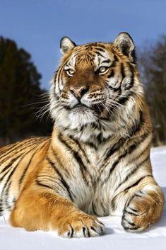 Tiger by Robert D'Costa Tiger Pictures, Cute Animal Pictures, Beautiful Cats, Animals Beautiful, Animals And Pets, Cute Animals, Tiger Artwork, Save The Tiger, Gato Grande
