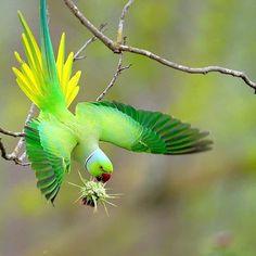 Rare Birds, Exotic Birds, Colorful Birds, Exotic Pets, Pretty Birds, Beautiful Birds, Animals Beautiful, Ring Necked Parakeet, Amazing Animals
