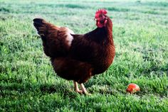omdat ik dieren die 'tokken' zoals kippen eng vind