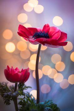 ~~Two Beauties... | Red Anemone | by Peter Spellerberg~~