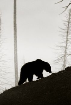 Photo and caption by Trish Carney Grizzly bear walking up hillside on a wintery day in May in Yellowstone near Sedge Bay. Due to the low light gray weather conditions on this day I opted for a silhouette of the bear to emphasized the solemn shape of the bear. Location: Yellowstone National Park
