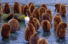 Falkland Islands Penguins.  There are Penguin Tours!
