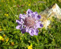 Fleur sur le chemin du  Col de la Vanoise  / Alpes