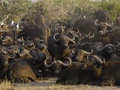 The African buffalo, or Cape buffalo, is found in swampy areas from South Africa to Ethiopia. Charging African buffalo can kill large animals with their horns.