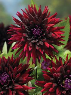 ✯ Black Wizard Dahlia