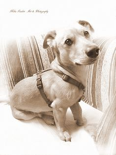 Lorenzo von Funzo 04 Portrait - null Labrador Retriever, Portrait, Dogs, Animals, Labrador Retrievers, Animales, Headshot Photography, Animaux, Pet Dogs
