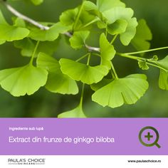 Ginkgo Biloba Benefits - Ginkgo Biloba has been used for thousands of years in traditional medicine for mental health, circulation, ear and eye health and more. Healing Herbs, Medicinal Herbs, Natural Healing, Natural Life, Natural Cold Remedies, Herbal Remedies, Health Remedies, Ginko Biloba Benefits, Herbs For Health