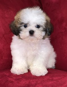 Teacup Poodle Puppies, Teddy Bear Puppies, Cute Baby Puppies, Super Cute Puppies, Havanese Puppies, Tiny Puppies, Micro Teacup Puppies, Teacup Dogs, Yorkie Puppy
