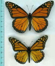 This comparison image shows the difference in size of the monarch butterfly due to lack of milkweed to eat. Brilliantly colored monarch butterflies literally are what they eat—and missing even one meal can be harmful, a new study says.