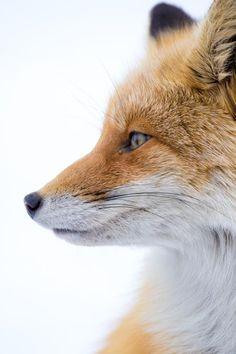 Red Fox by Takahiro Iinuma - National Geographic Your Shot