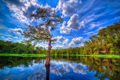 Cypress tree in Palmdale, FL.