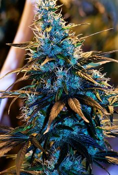 Super Beautiful Blue and Purple Marijuana Plant Head - http://acme420.com/2013/08/07/super-beautiful-blue-and-purple-marijuana-plant-head/