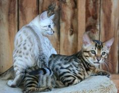 Pin By Kristine On Cheetoh Pixie Bob Bengal Savanah Cat Cats