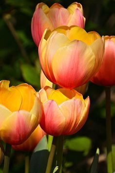 Peachy Tulips. The tulip is a perennial, bulbous plant with showy flowers in the genus Tulipa, of which around 75 wild species are currently accepted and which belongs to the family Liliaceae.